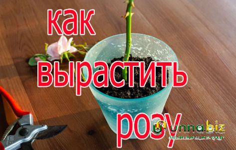 Черенки роз  как вырастить розу из черенка