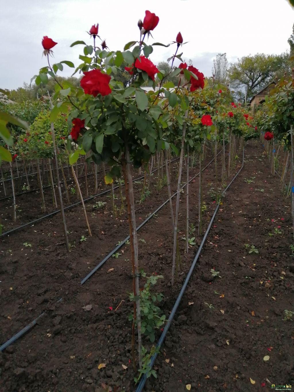 Розы штамбовые в ассортименте, шаровидная рябина, оптом и в розницу